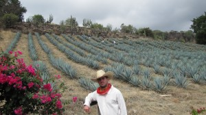 agave fields 300x168 El Jimador Blanco   (the Gringo Tequila harvester)