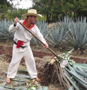 tequila harvester
