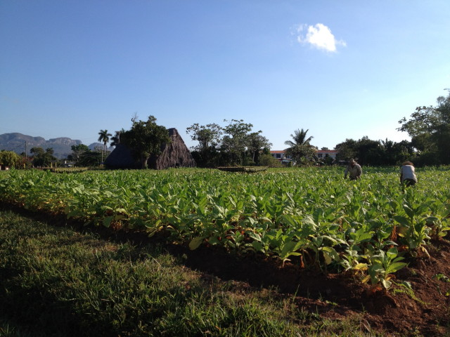 tobacco fields of Cuba