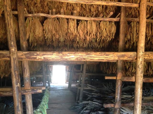 fermenting tobacco leaves