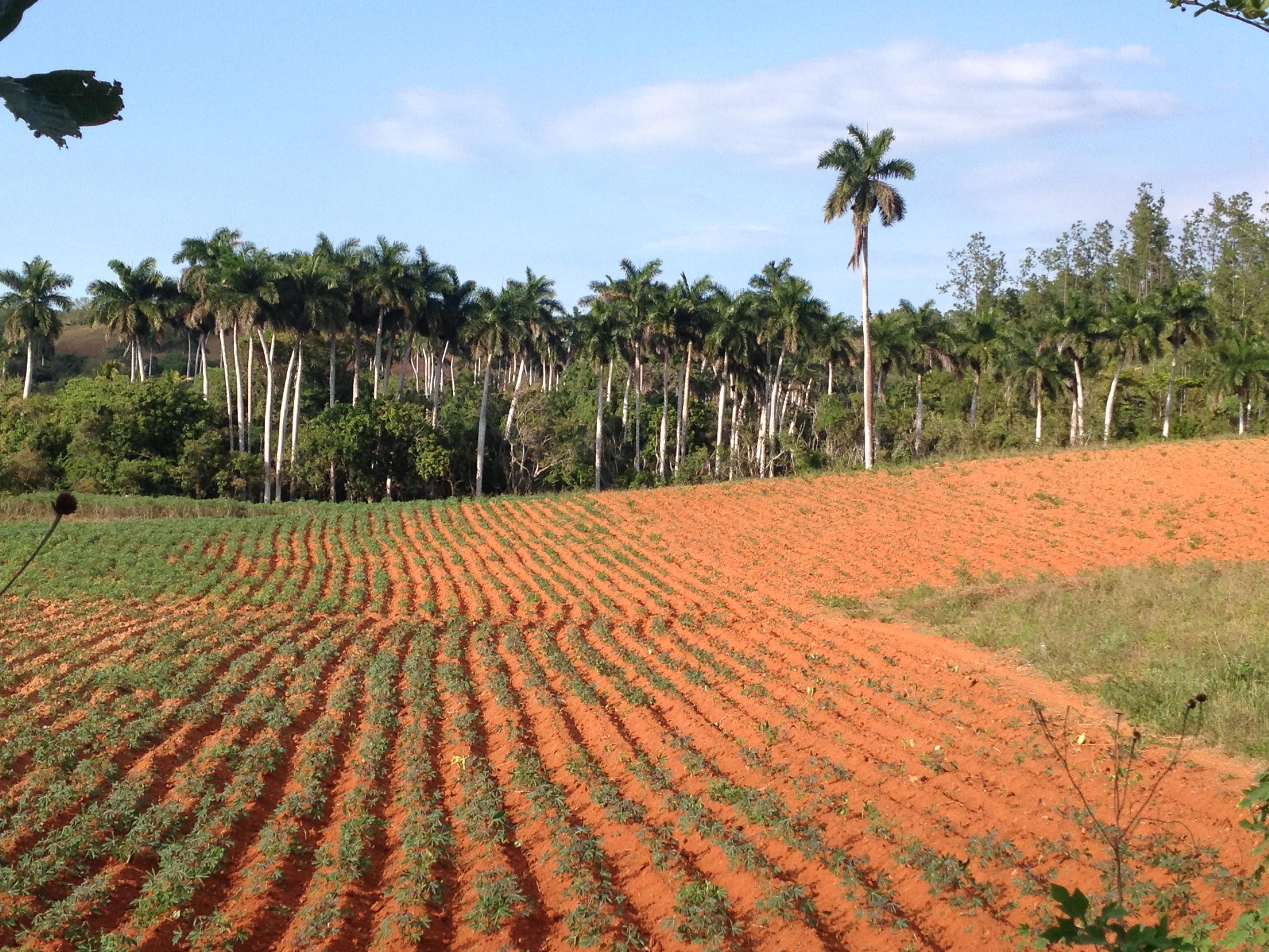 Tobacco Field In Vinales Cuba