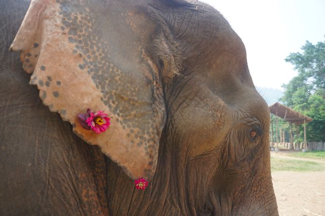 This elephant has flowers in here ear from the holes that the use of the hook did to her.