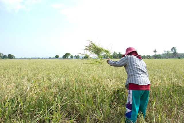 throwing the freshly cut rice
