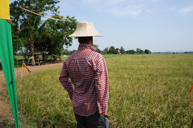 Looking out onto the aged field, feeling almost sorrow for the fate I am about to deliver this rice