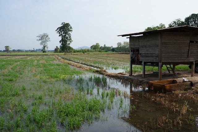 thailand rice paddy