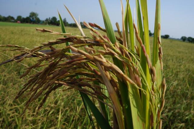harvest rice